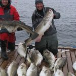 Little brother of the cod: about the coastal cod's construction…